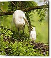 A Tender Moment - Great Egret And Chick Acrylic Print