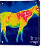 A Thermogram Of A Horse Acrylic Print