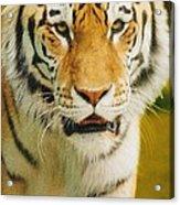 A Tiger Acrylic Print