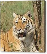 A Tiger Lying Casually But Fully Alert Acrylic Print
