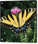 A Tiger Swallowtail Butterfly Feeds Acrylic Print