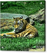 A Tiger's Gaze Acrylic Print by Paul Ward