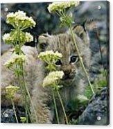 A Tiny Lynx Cub Felis Lynx Peeks Acrylic Print