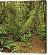 A Trail Cuts Through Ferns And Shrubs Acrylic Print