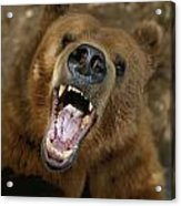 A Trained Kodiak Bear With Its Mouth Acrylic Print by Joel Sartore