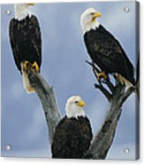 A Trio Of American Bald Eagles Perched Acrylic Print