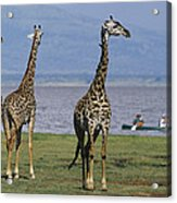 A Trio Of Giraffes Near The Edge Acrylic Print