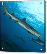 A Trio Of Whitetip Reef Sharks, Kimbe Acrylic Print