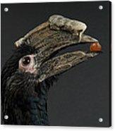 A Trumpeter Hornbill Ceratogymna Acrylic Print