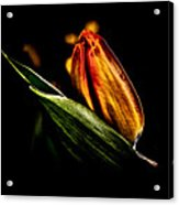 A Tulip With Sheen Acrylic Print