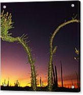A View At Twilight Of A Boojum Tree Acrylic Print