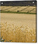 A View Of A Summer Field Of Wheat Acrylic Print