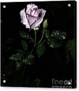 A Vintage Rose Acrylic Print by Eva Thomas