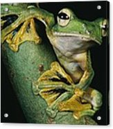 A Wallaces Flying Frog, Rhacophorus Acrylic Print by Tim Laman