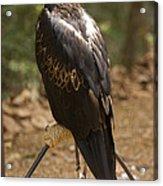 A Wedge-tailed Eagle At A Wild Bird Acrylic Print