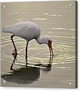 A White Ibis Probes The Mud Acrylic Print