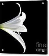 A White Lily Acrylic Print