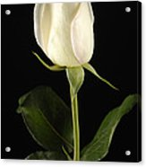 A White Rose Rosaceae Acrylic Print