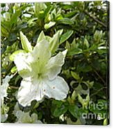 A White Spring Begins Acrylic Print