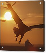 A White-tailed Eagle In Flight Acrylic Print