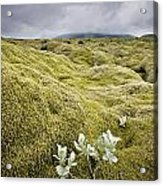 A White Wildflower Growing On A Rugged Acrylic Print