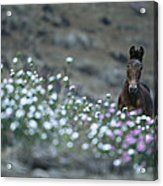A Wild Horse On A Wildflower Covered Acrylic Print