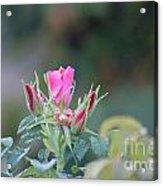 A Wild Rose Acrylic Print