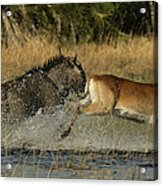 A Wildebeest And A Red Lechwe Leap Acrylic Print