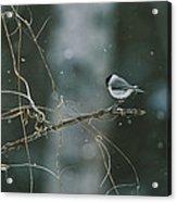 A Willow Tit Parus Montanus Perches Acrylic Print