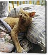A Yawning Cat Wakes From A Nap Acrylic Print