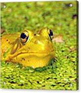 A Yellow Bullfrog Acrylic Print