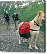 A Yellow Labrador, Wearing A Backpack Acrylic Print by Rich Reid