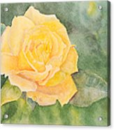 A Yellow Rose Acrylic Print