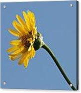 A Yellow Wildflower Acrylic Print