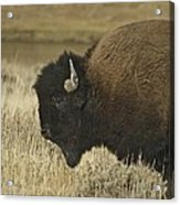 A Yellowstone Bison 9615 Acrylic Print