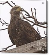 A Young Eagle In The Midst Of Change  Acrylic Print