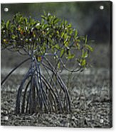 A Young Mangrove Tree Acrylic Print by Klaus Nigge
