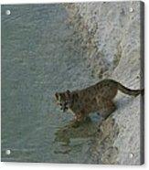 A Young Mountain Lion Prepares To Take Acrylic Print