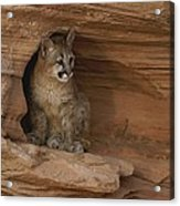 A Young Mountain Lion Rests In A Rocky Acrylic Print