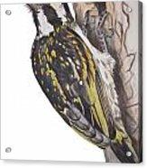 Acacia Pied Barbet Acrylic Print