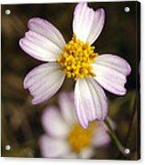 Aceitillo Flower Acrylic Print