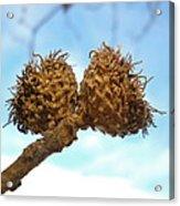 Acorns Have Left The Nest Acrylic Print