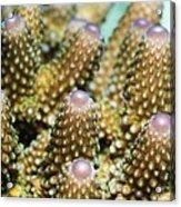 Acropora Plate Coral Polyps Acrylic Print