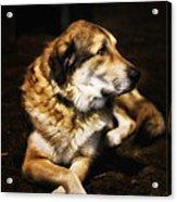 Adam - The Loving Dog Acrylic Print by Bill Tiepelman