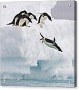 Adelie Penguin Diving Antarctica Acrylic Print