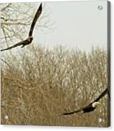 Adult And Immature Bald Eagle Flying Acrylic Print