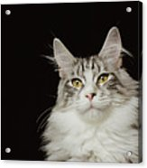 Adult Maine Coon Cat, Close-up Acrylic Print