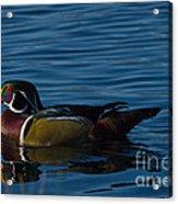 Adult Male Wood Duck Acrylic Print