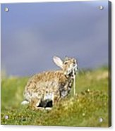 Adult Rabbit Marking Scent Acrylic Print by Duncan Shaw