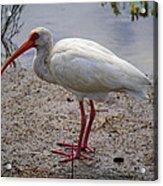 Adult White Ibis Acrylic Print